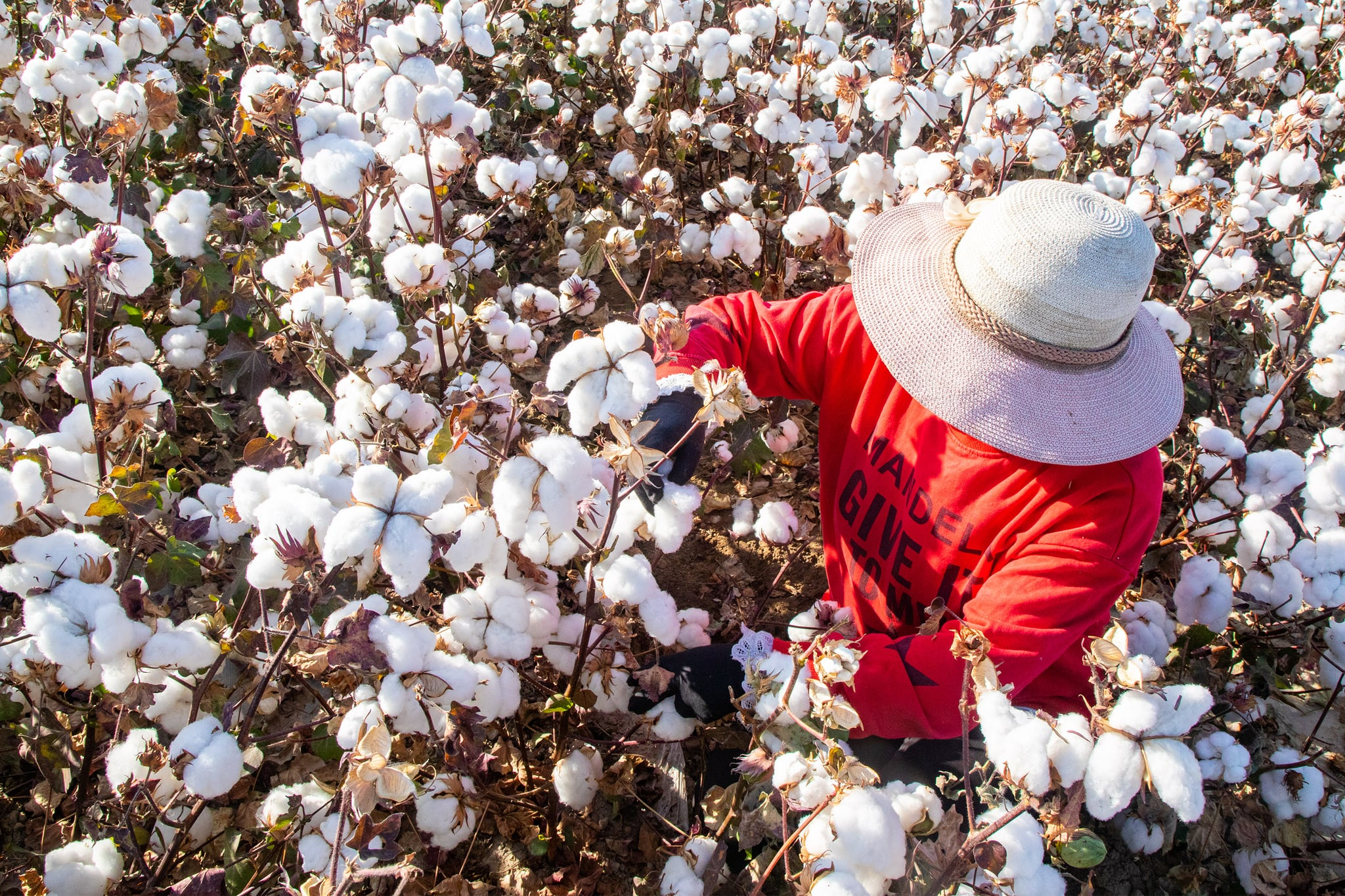 HAMI, CHINA - OCTOBER 09: A farmer harvests cotton in a field on October 10, 2020 in Hami, Xinjiang Uygur Autonomous Region of China. (Photo by Pulati Niyazi/VCG via Getty Images)
