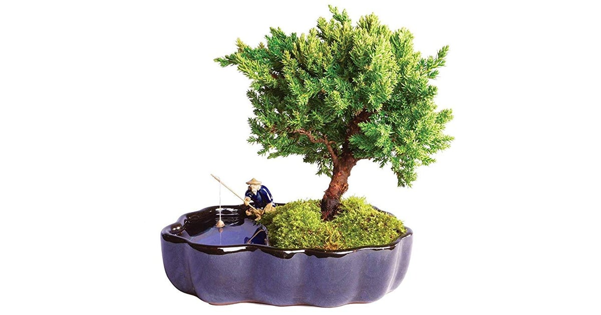 Brussel S Bonsai Live Green Mound Juniper Outdoor Bonsai Tree Trees On Amazon Popsugar Home Photo 4