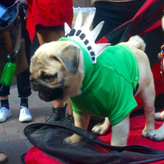 Pugs Take NYC Costumes