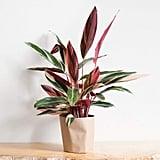 Stromanthe Sanguinea