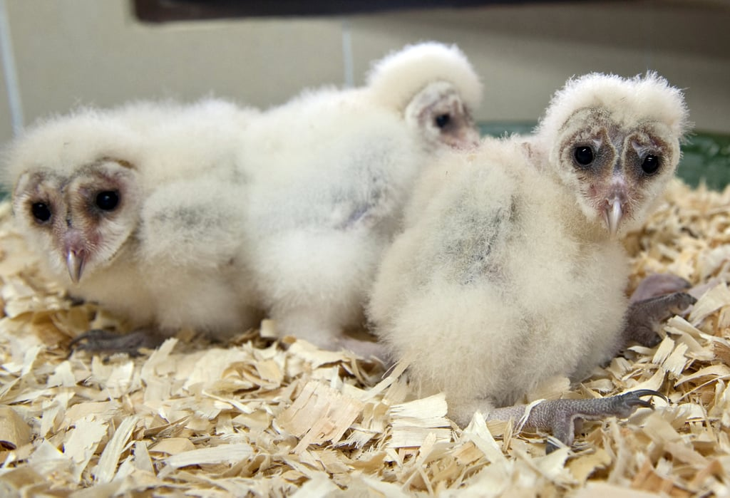 Barn owl babies take a wide-eyed look at Spring. Source: Getty
