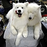Samoyed Friends