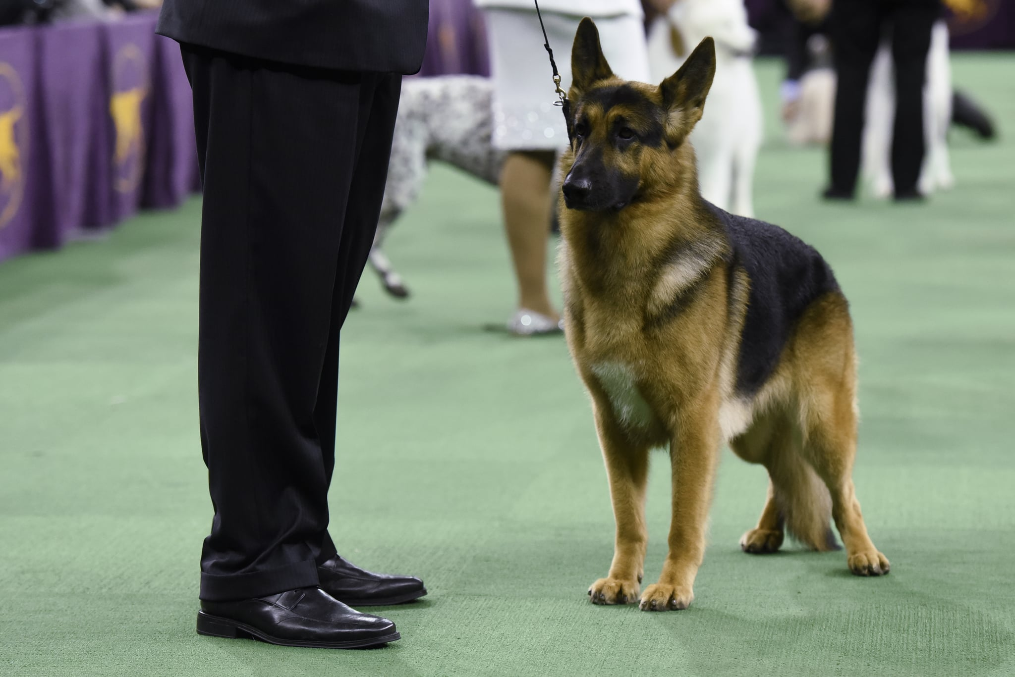 Rumor has it! German shepherd takes top prize at dog show