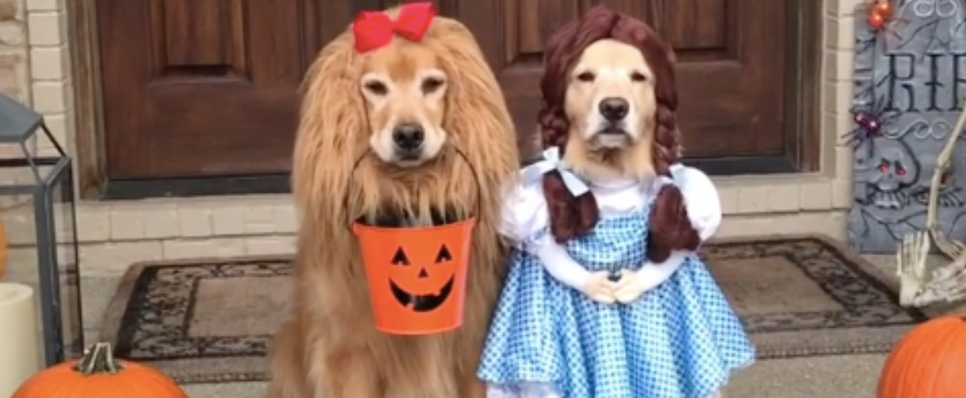 Golden Retrievers Dressed as Wizard of Oz For Halloween