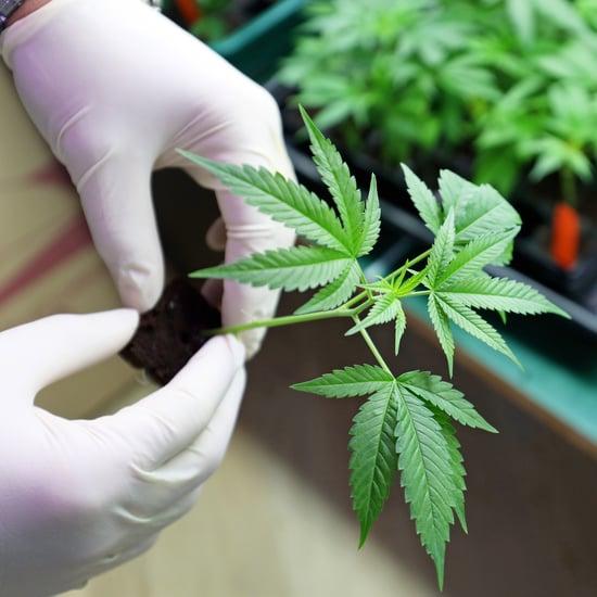 لبنان تشرّع زراعة الحشيش للاستخدامات الطبية والصناعية