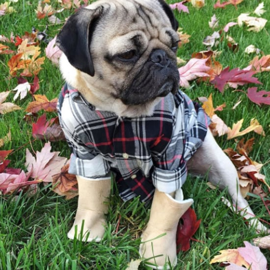 Pugs in Uggs (Video)