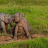 Elephants have an amazing sense of smell but poor eyesight. There are an estimated 450,000-700,000 African elephants and between 35,000 and 40,000 wild Asian elephants.