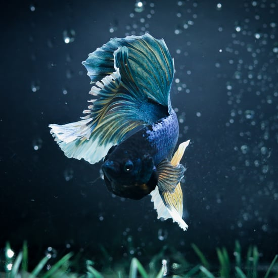 Is It Normal for Betta Fish to Lose Their Fins?
