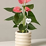 Flowering Pink Anthurium