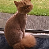 """""""The hot weather is coming, so my friend took his cat for a haircut."""" Source: Reddit user best via Imgur"""