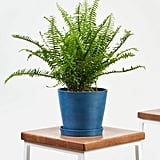 Bloomscape Potted Kimberly Queen Fern
