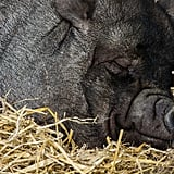 This hog, who could not be more comfortable.