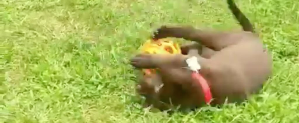 Video of Chocolate Lab Puppy Falling Over a Ball