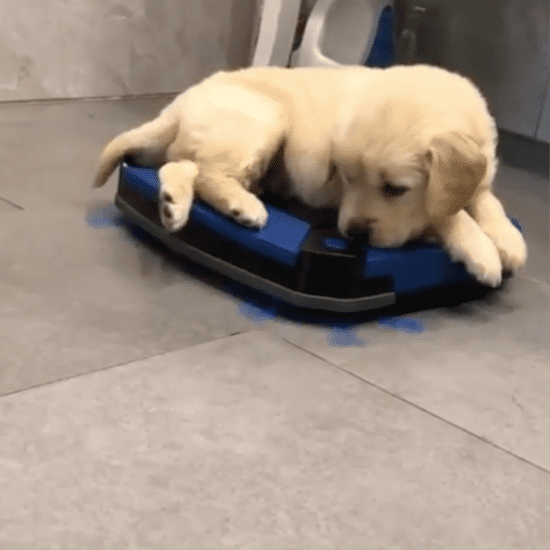 Video of a Golden Retriever Puppy Riding a Roomba Vacuum