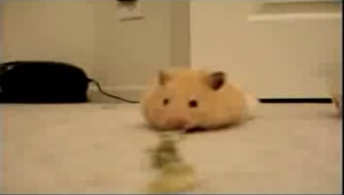 Hamster Eats Lots of Sunflower Seeds