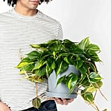 Potted Philodendron Brasil Indoor Plant
