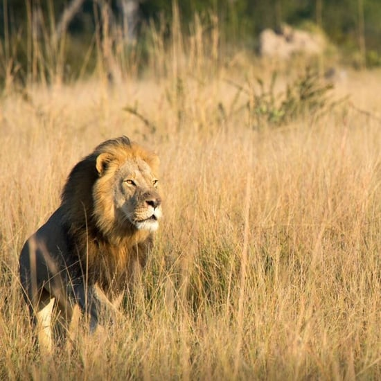 Cecil the Lion's Son Dead
