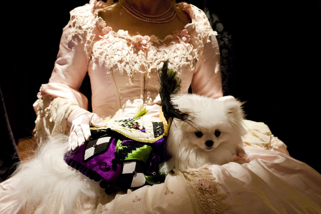 Pomeranian Sophia is queen of the court at a fashion show held on the Friday night prior to the Westminster Kennel Club Dog Show.