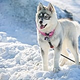 Canadian Eskimo Dog