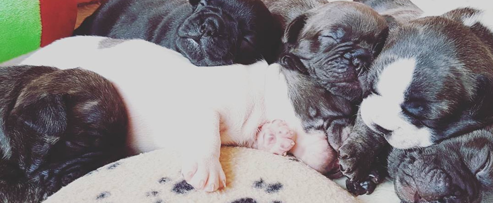 The Cutest Photos of French Bulldog Puppies