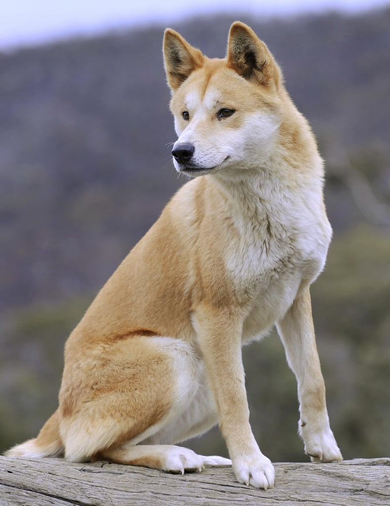 This lovely adult dingo at the Dingo Discovery and Research Centre showcases the more common tan-and-white coloring of the species. White dingoes and black dingoes also exist but, due to dwindling populations, are very rare.