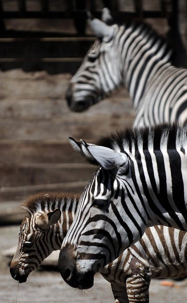 Primo, the Primo Zebra