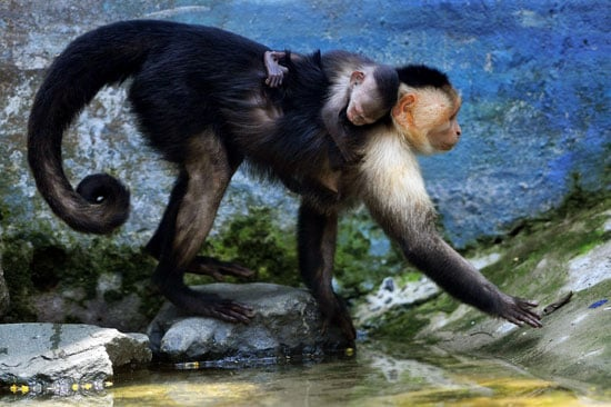 The white-headed Capuchin monkey is perhaps best known as the companion to organ grinders . . . or Friends's Ross Geller. Thanks to its high level of intelligence, the Capuchin has been trained to assist the handicapped.