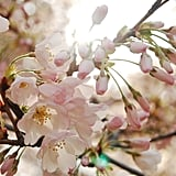 Pretty Photos of Cherry Blossoms