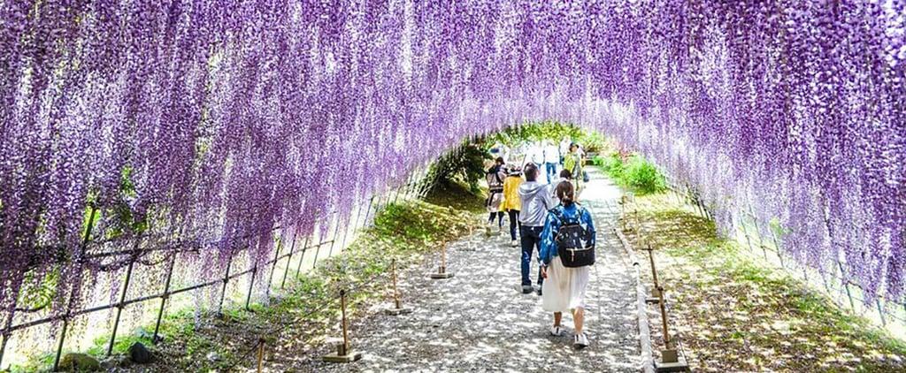 Wisteria Flower Tunnels Japan