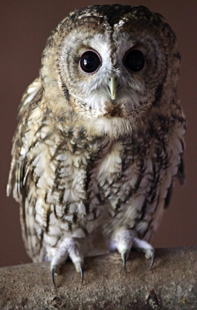 Rescued Tawny Owls at RSPCA West Hatch Wildlife Centre