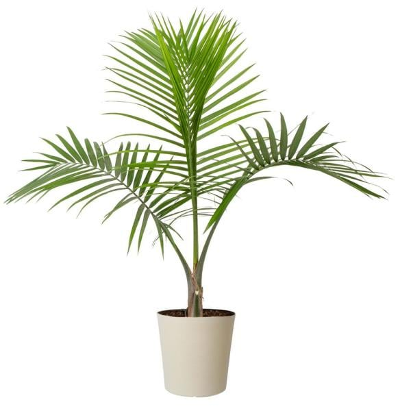 Costa Farms 10 in. Majesty Palm in Paradise Planter