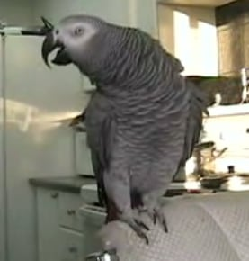 Beat Boxing Parrot
