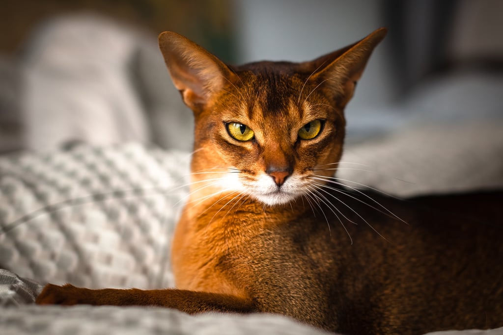 Capricorn (Dec. 22-Jan. 19): Abyssinian Cat