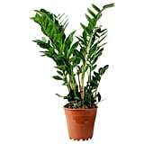 Zamioculcas Potted Plant