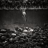 Nature Winner: The Great Migration