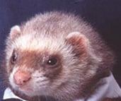 Cute Alert: Ferret In A Tux