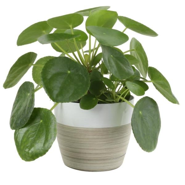 Costa Farms Pilea Peperomioides Sharing Plant in 6 in. Contemporary Planter