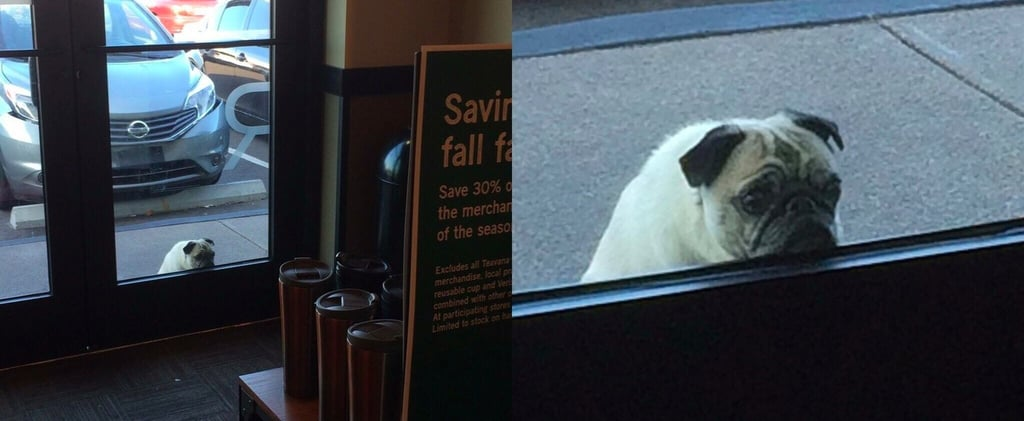 Pug Dog Waiting For Owner in Starbucks