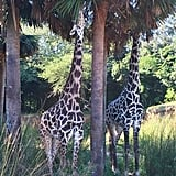 Go on a Kilimanjaro Safari in Walt Disney World.