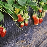 Go strawberry picking.