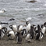 Cross the Magallanes Strait and See the Penguins