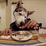 Gohan the husky going HAM on his meal.