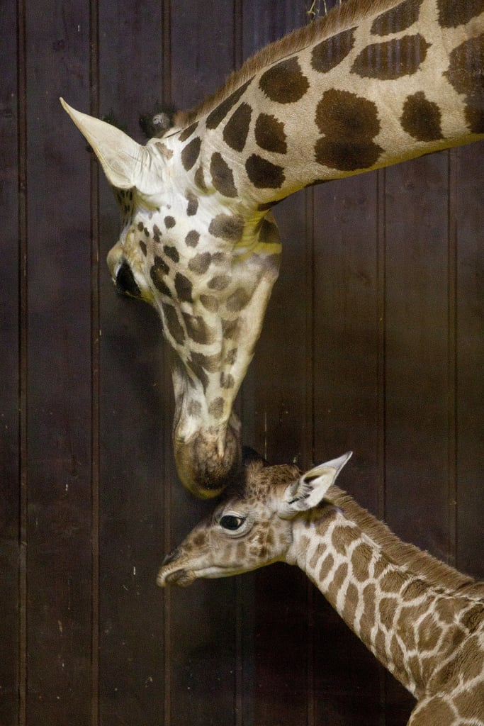 Giraffe gestation lasts 13 to 15 months . . . That's a long time to be pregnant!