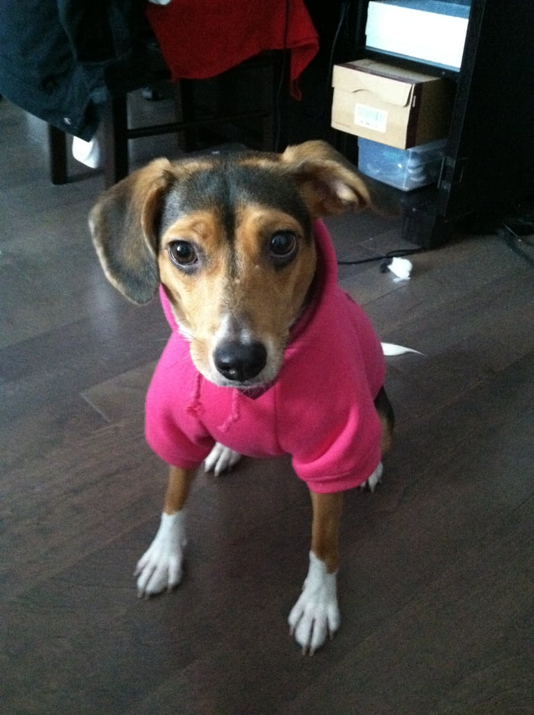 BellaSugar Associate Editor Kaitlyn Dreyling's Beagle mix, Lola, could fit right in at Sugar in that sweatshirt.