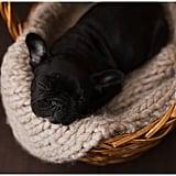Newborn Photo Shoot With French Bulldog