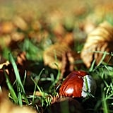 A chestnut fell among the leaves in England.
