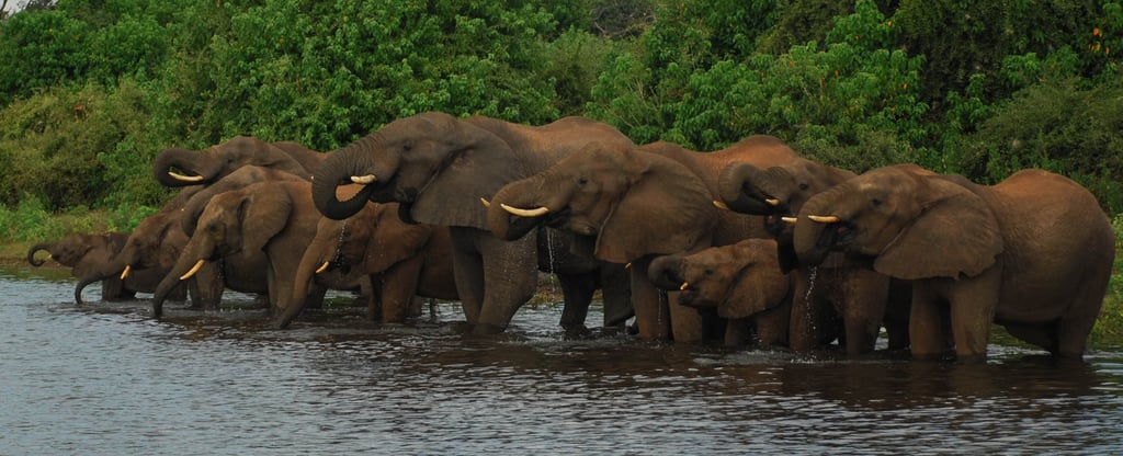 An elephant uses its trunk to lift food and suck up water to pour into its mouth. Elephants can communicate over long distances by producing a subsonic rumble that can travel over the ground faster than sound through air.