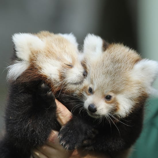 Red Panda Pictures