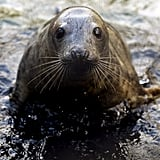 Gray seals eat about 11 pounds of food each day, though they fast during breeding season.