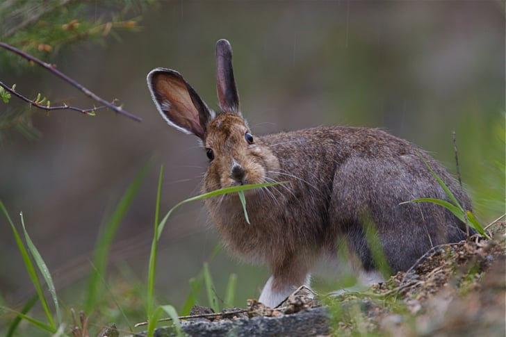 summer snowshoe hare animals that change colors with the